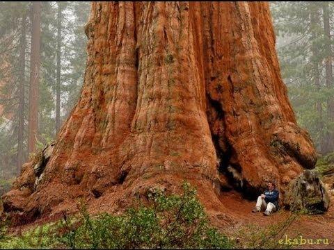 Самое высокое дерево в мире(The tallest tree in the world)