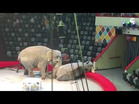 В Казани слоны подрались во время представления