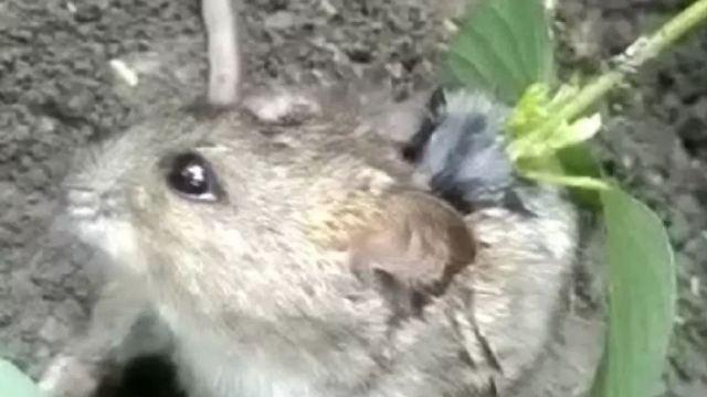 Крыса с соей на спине