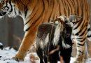 От чего умер подружившийся с тигром Амуром козел Тимур