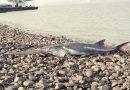 Самая крупная пресноводная рыба признана вымершей