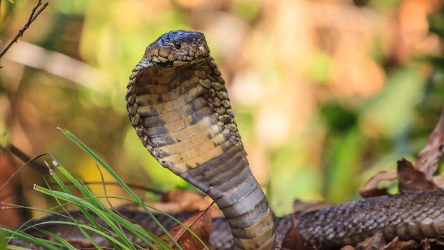 Кобра, змея