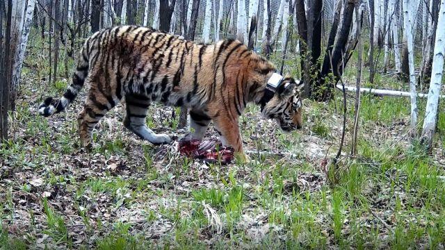 Амурский тигр Павлик