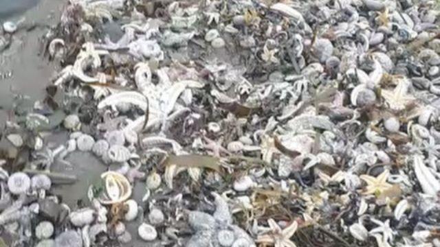 Тысячи морских животных выбросило на камчатский пляж