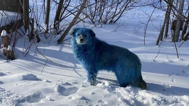 Собаки голубого цвета