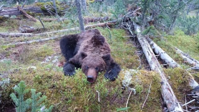 Растерзавшего подростка медведя застрелили в Красноярском крае